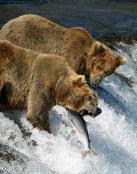 Osos cazando peces