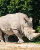 Rinoceronte blanco africano