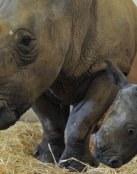 Rinoceronte con su cria