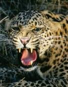 Rugido de un leopardo