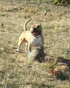 Simba American Staffordshire