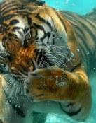 Tigre buceando