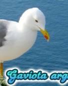 La Gaviota Argentea mediterránea