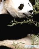 Ataque de Oso Panda