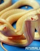Ataque de Cobra a un Bebe
