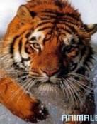 Ataque en la India de Tigre Salvaje