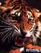 Combate Tigre contra Leon