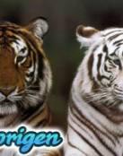 Origenes del Tigre