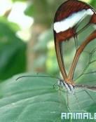 Mariposas Incoloras