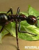 Morfología de las Hormigas