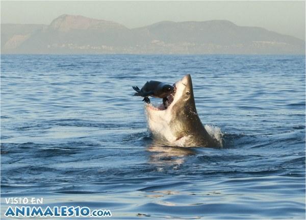 El Tiburón y la presa