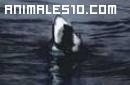 Tiburón blanco saltando