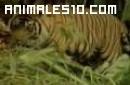 El tigre y sus crías