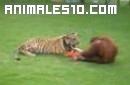 Orangutan juega con tigre
