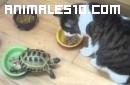 Tortuga domestica atancando a los gatos