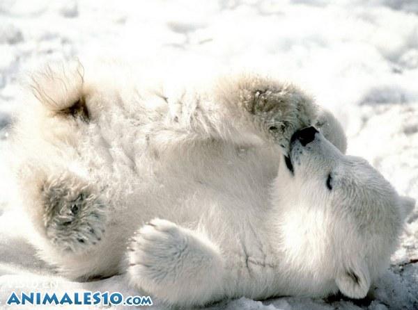 Travieso oso polar