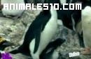 Nacimiento y vida de un pequeño pinguino