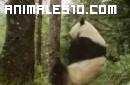 La vida secreta del Panda Gigante