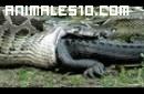 Piton engulle a un cocodrilo
