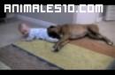 Boxer jugando con bebe