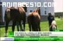 El caballo mas grande y pequeño del mundo