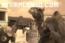 Camello que devora la cocacola