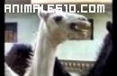 Cosquillas a un camello