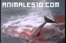 Crueldad en la pesca de ballenas