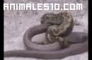 Cobra contra piton