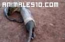 Cobra vomitando para escapar