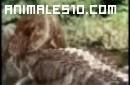 Duelo animal. Caiman contra oso negro. P1