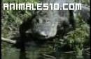Duelo animal. Caiman contra oso negro. P3