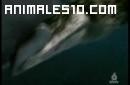 Duelo animal. Tiburon contra cocodrilo. P4