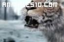 Duelo animal. Tigre contra oso pardo. P1