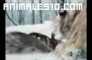 Duelo animal. Tigre contra oso pardo. P4