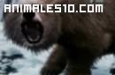 Duelo animal. Tigre contra oso pardo. P5