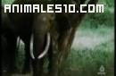 Duelo animal. Elefante contra rinoceronte.P5