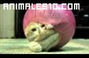 Un gato contorsionista