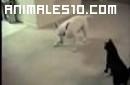 Perro hiperactivo contra gato
