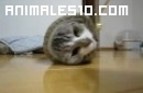 Gato atrapado en una manga