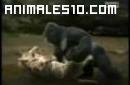 Combate entre gorila y guepardo