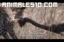 Guepardo atacando a un avestruz