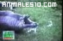 Anaconda se come un hipopotamo