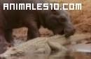 Hipopotamo contra cocodrilo