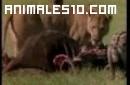 Leona espanta a muchas hienas
