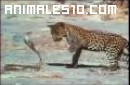 Leopardo contra cobra adulta