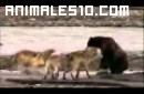 Lobos contra hienas