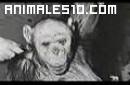 Oliver el hombre mono. Parte 1