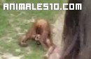 Orangutan meando en su boca