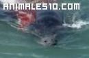 Orcas devorando un elefante marino